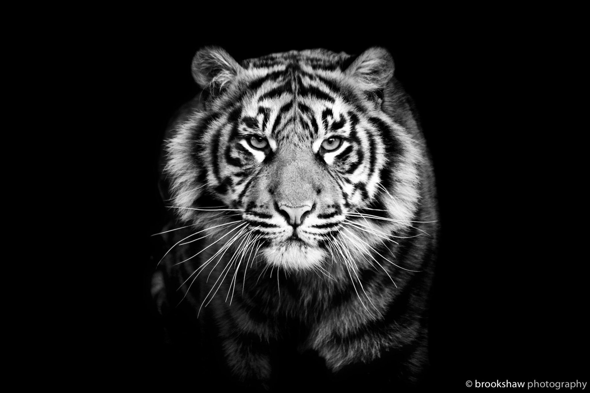 tiger predator close up black and white black background
