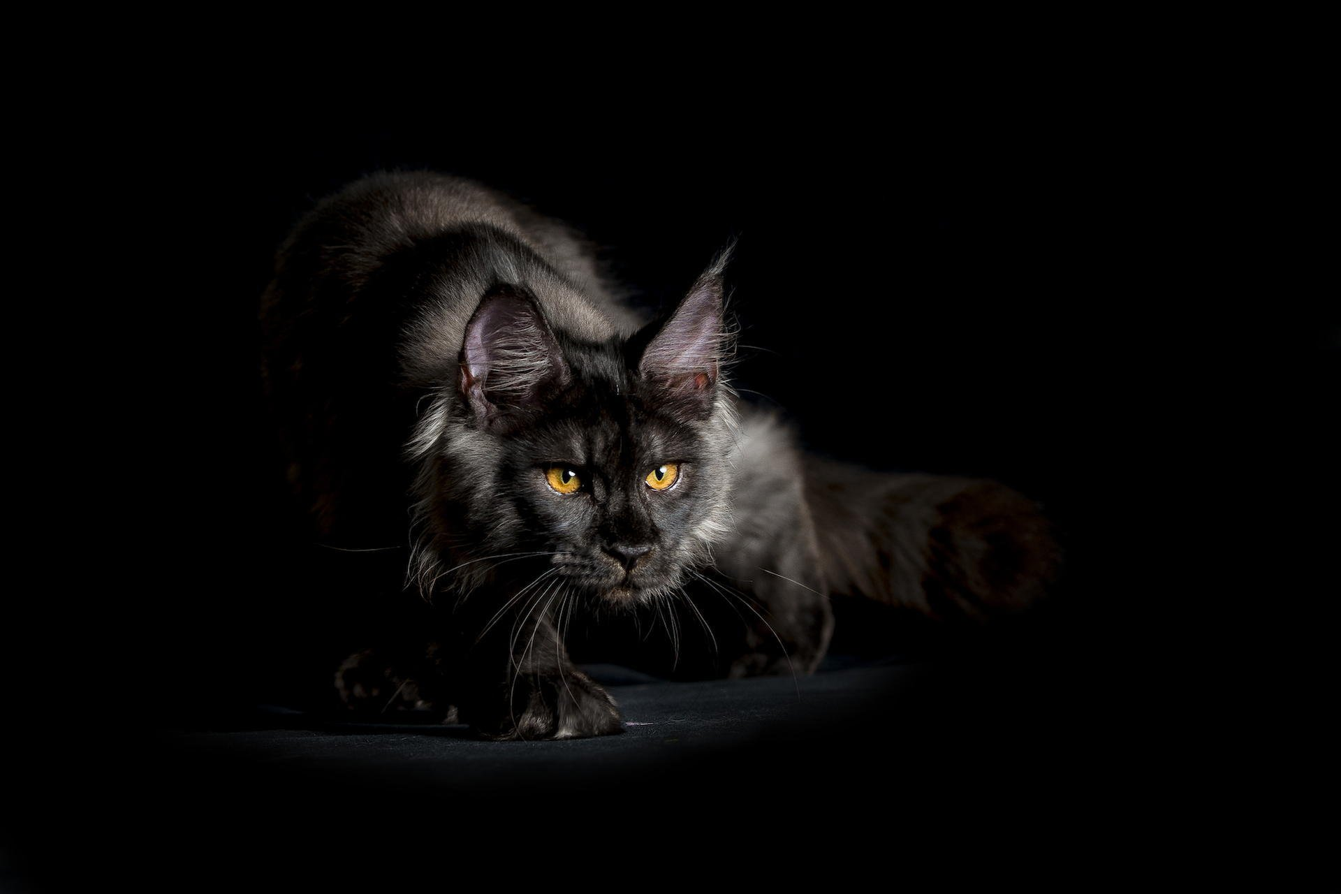 maine coon cat black shaggy view background