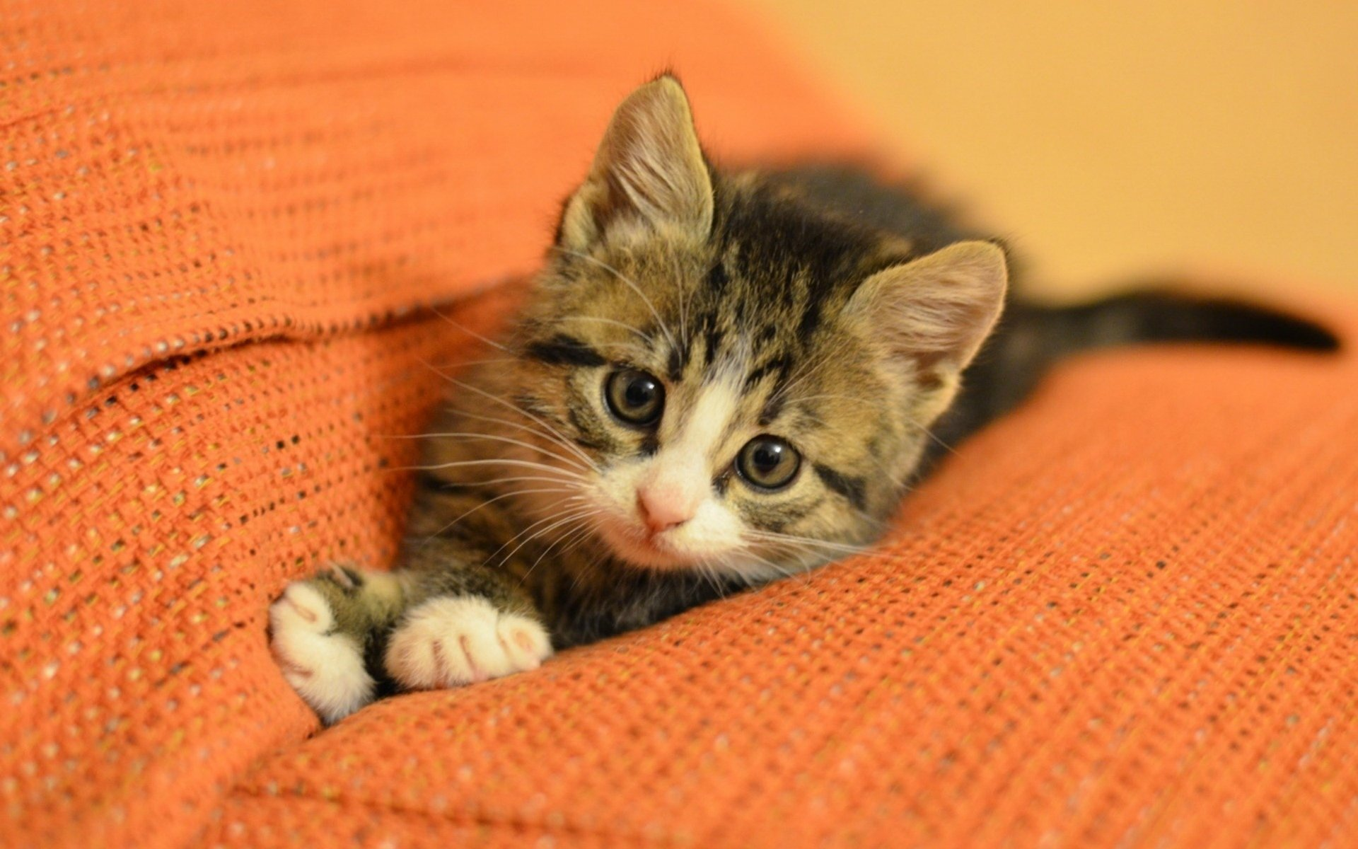 cats cat kitten muzzle . paws feet sofa . orange background widescreen wallpapers